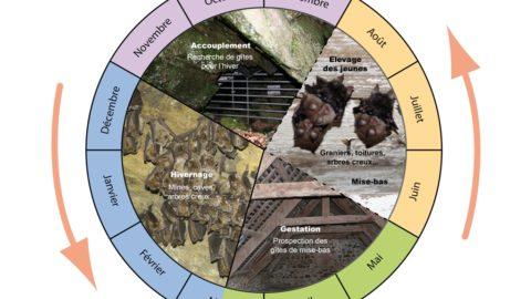 Le cycle des chauves-souris